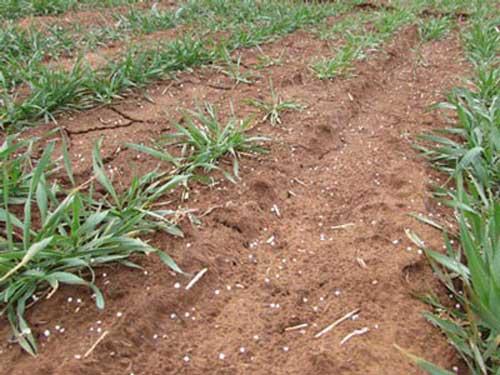 https://webapp.agron.ksu.edu/agr_social/lib/Filemanager/userfiles/02072020/Topdressing-wheat-F01.jpg