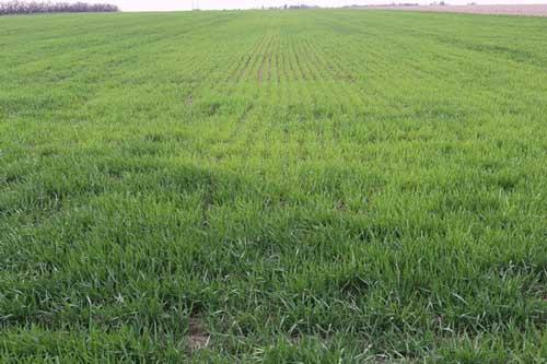 https://webapp.agron.ksu.edu/agr_social/lib/Filemanager/userfiles/04122019/Causes-of-yellow-wheat-F02.jpg