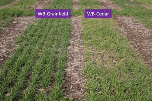 https://webapp.agron.ksu.edu/agr_social/lib/Filemanager/userfiles/04122019/Causes-of-yellow-wheat-F04.jpg