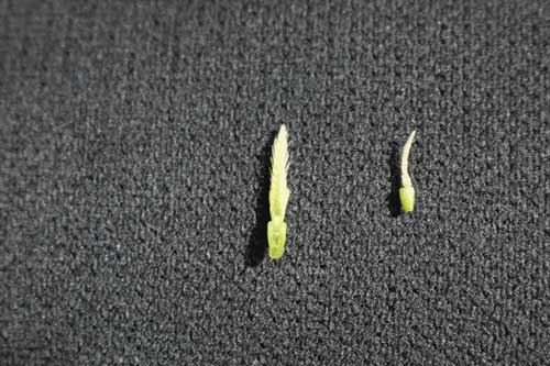 https://webapp.agron.ksu.edu/agr_social/lib/Filemanager/userfiles/04122019/Causes-of-yellow-wheat-F05.jpg