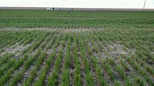 https://webapp.agron.ksu.edu/agr_social/lib/Filemanager/userfiles/04122019/Causes-of-yellow-wheat-F06.jpg